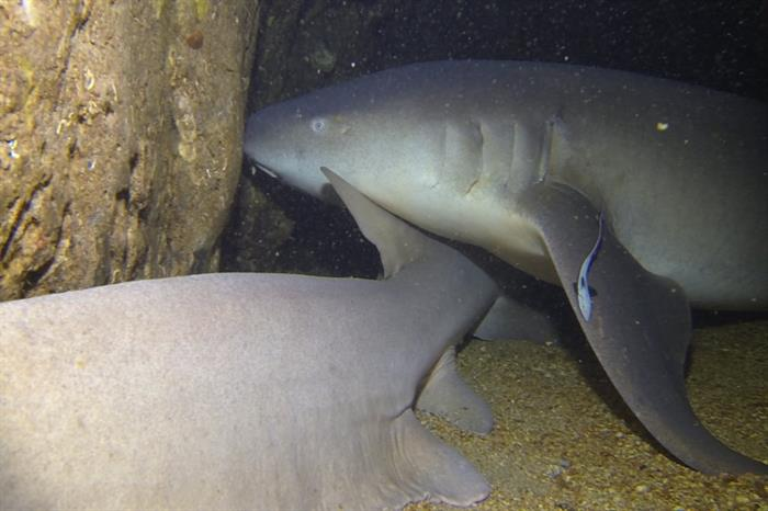 Nurseshark