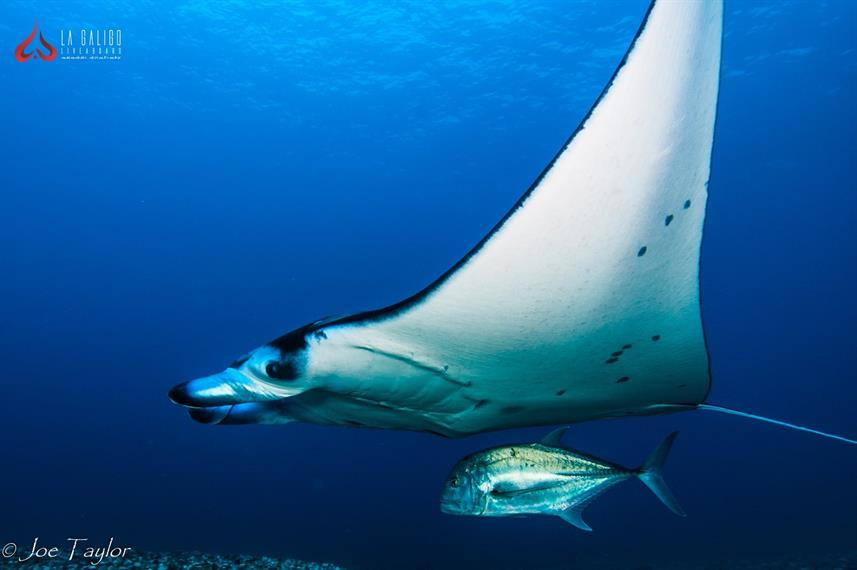Diving with Manta Rays in Komodo