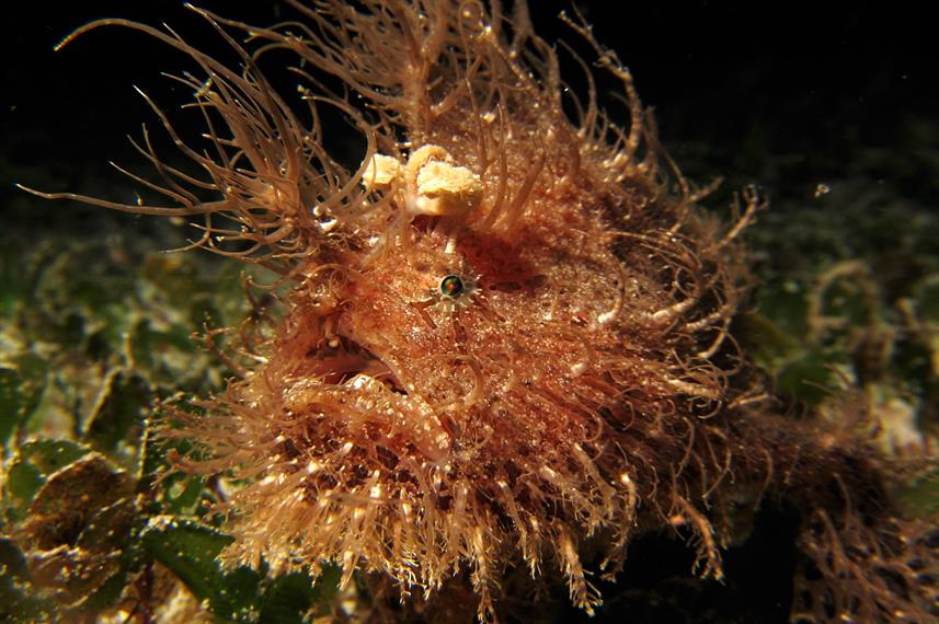 Hairy Frogfish - Philippines