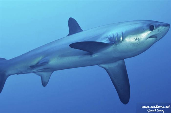 Diving with Thresher Sharks in Malapascua