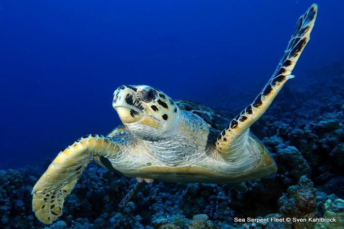 Hawksbill Turtle - Red Sea