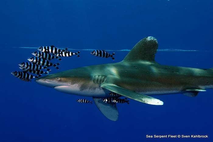 Oceanic Whitetip Shark - Red Sea