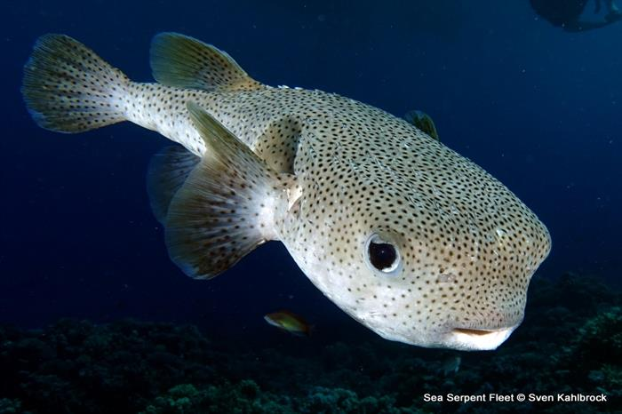 Pufferfish - Grand Sea Serpent Red Sea