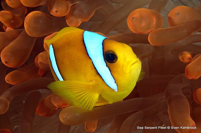 Clownfish - Grand Sea Serpent Red Sea