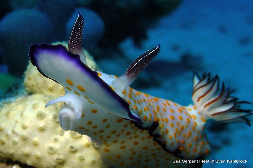 Nudibranch - Grand Sea Serpent Red Sea