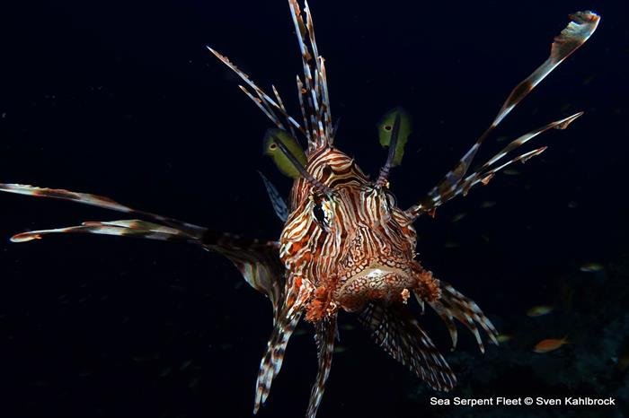 Lionfish -  Sea Serpent Red Sea