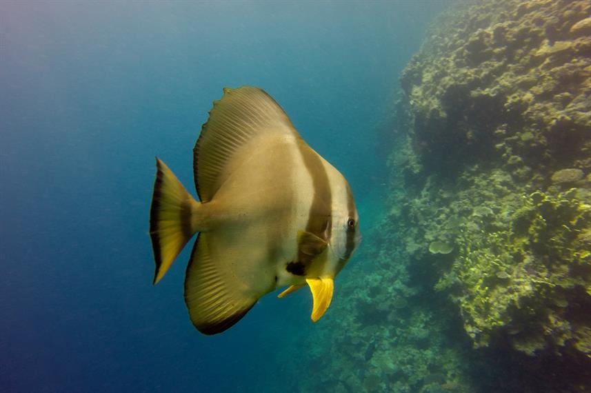 Bat Fish at Rowley Shoals