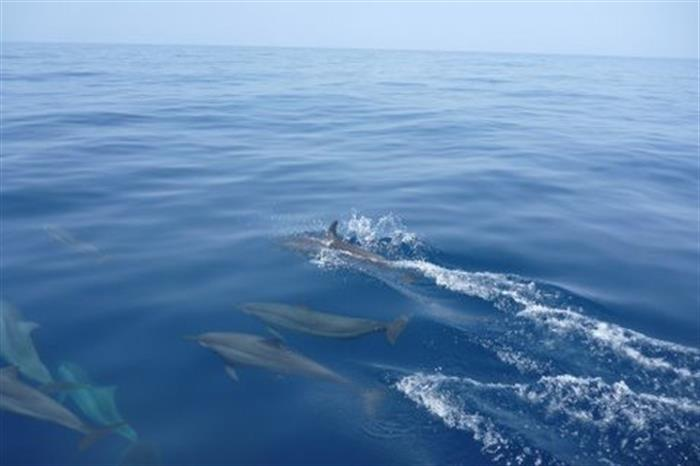Dolphins Rowley Shoals