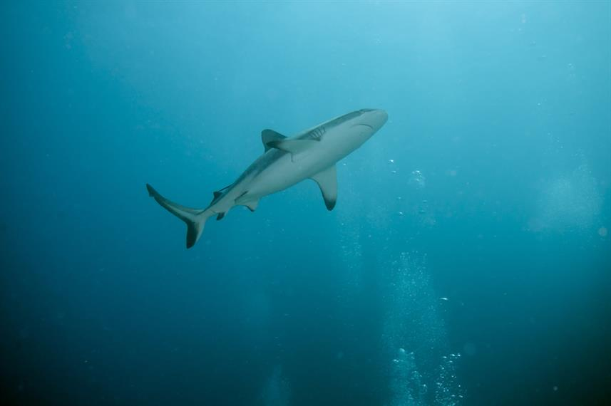 Sharks at the Rowley Shoals