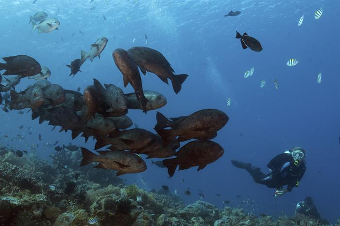 Schools of black snapper - Wakatobi, Sulawesi, Indonesia