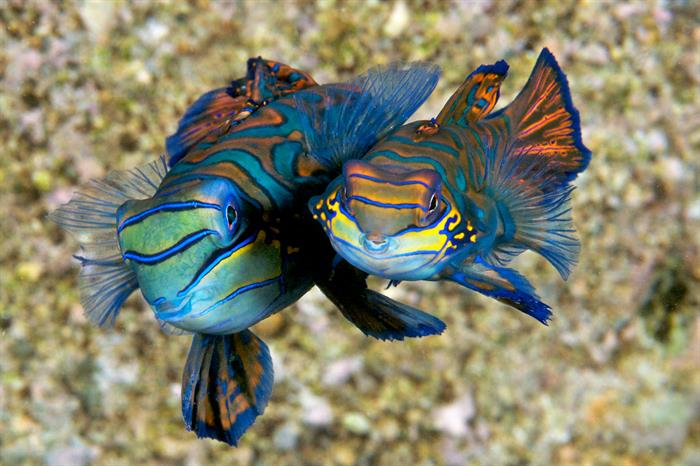 Mating mandarinfish are a treat to see at Magic Pier - Wakatobi, Sulawesi, Indonesia