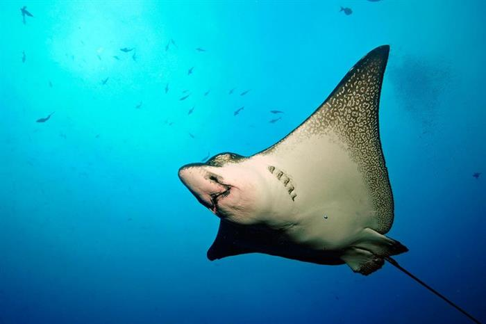 Eagle Ray - diving the Galapagos