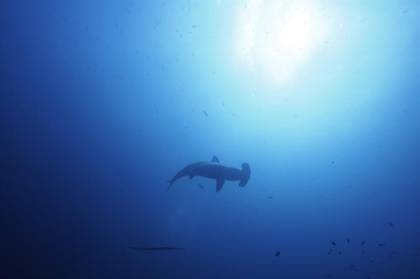 Hammerhead Sharks of the Galapagos