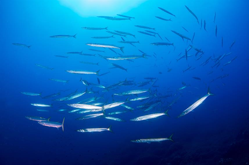 Schooling barracuda in Italy