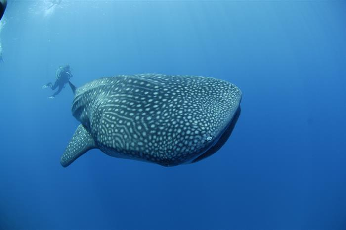 Dive with Whale Sharks in the Maldives