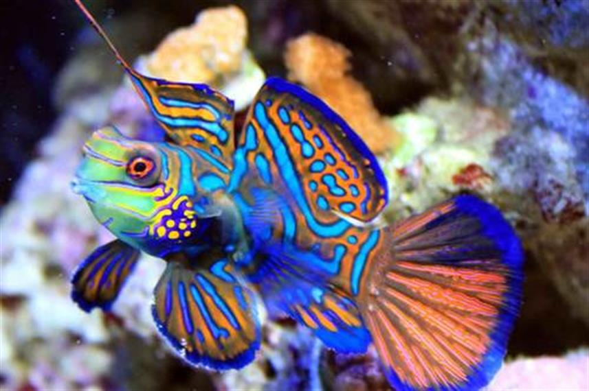 Mandarin Fish - Diving Solomon Islands