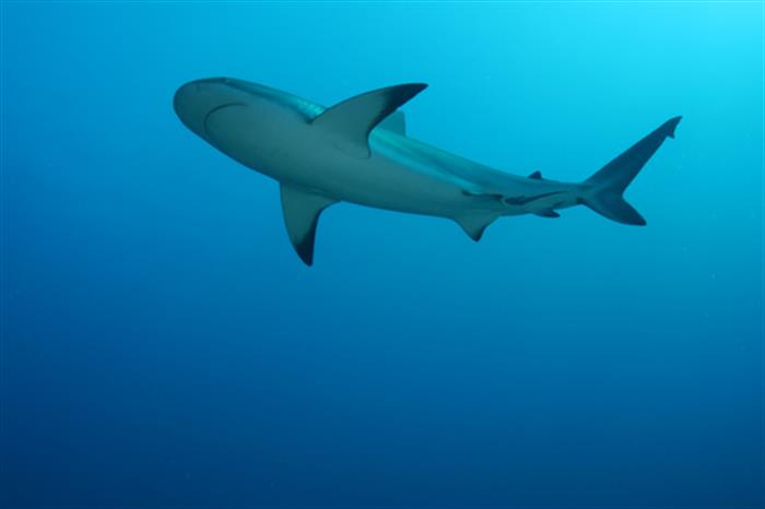 Reef Shark - Solomons Diving