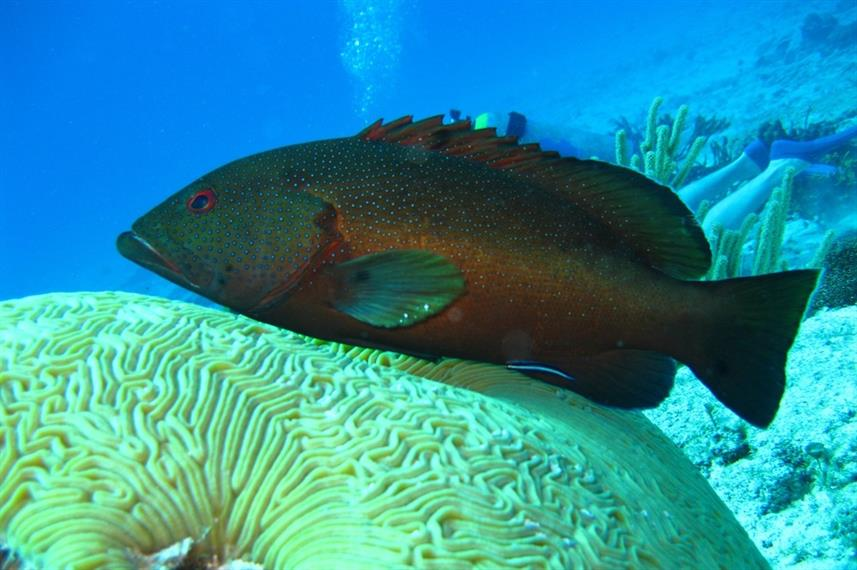 Grouper - Diving Indonesia