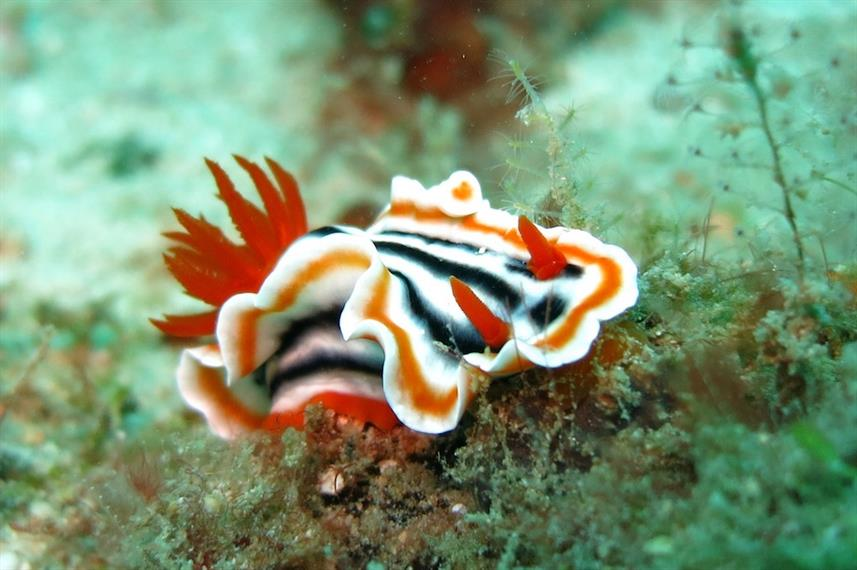 Nudibranch - Indonesia