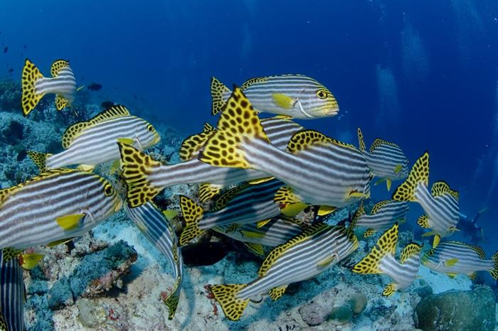 Sweetlips - Diving Indonesia