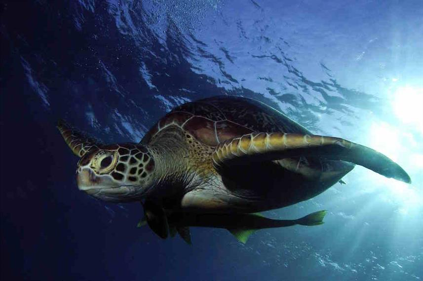 Green Turtle Red Sea
