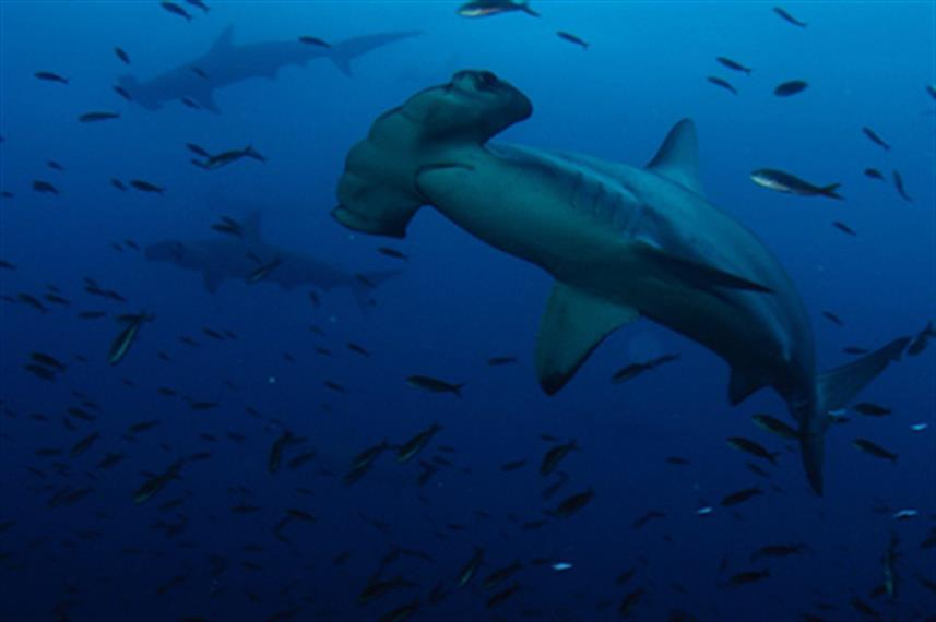 Hammerhead Sharks - Galapagos Diving