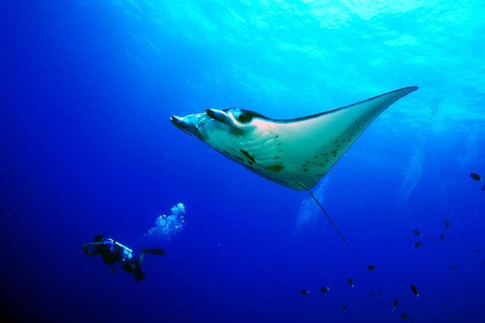 Diving with Manta Rays in the Philippines