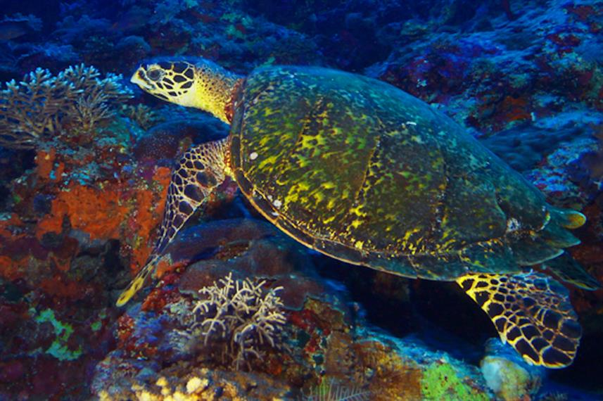 Turtles at Tubbataha Reef Philippines