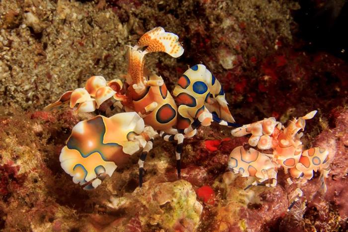 Harlequin Shrimps in the Similans, Thailand