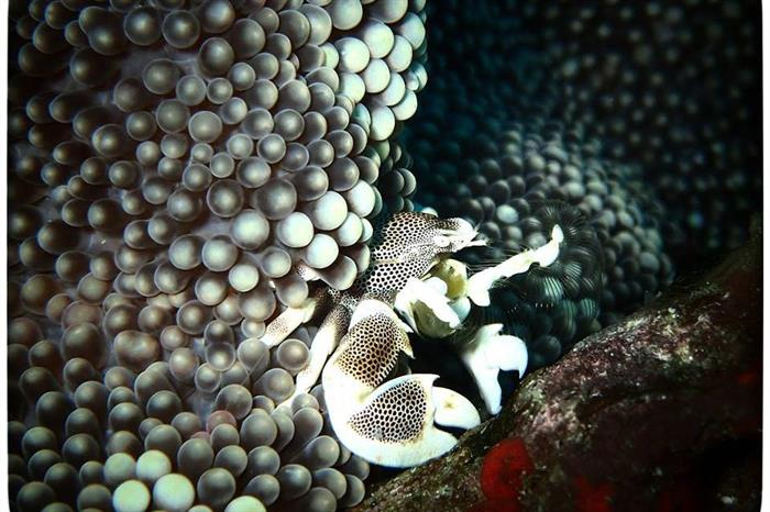 Porcelain Crab, diving the Similan Islands