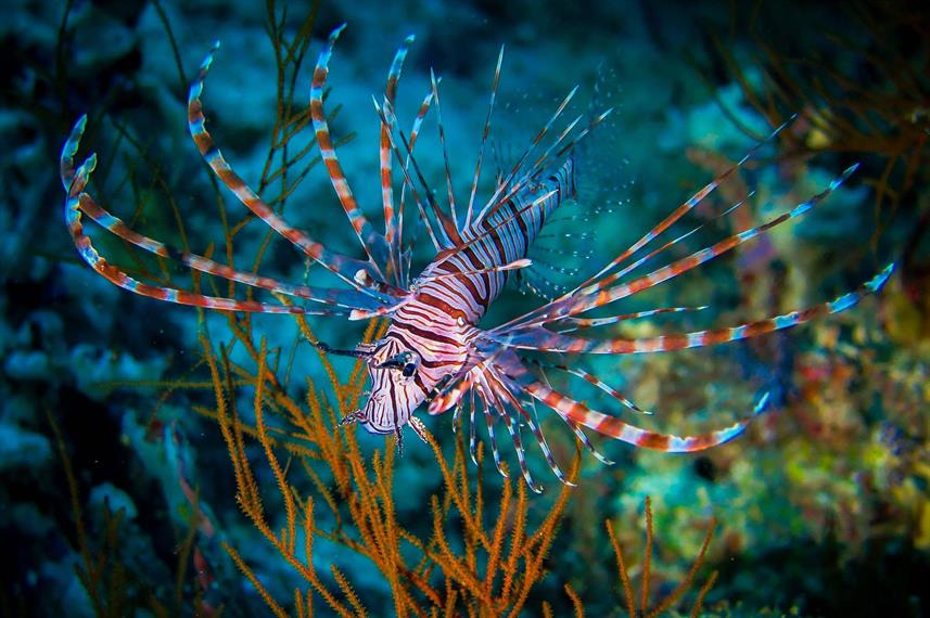 Lionfish Indonesia