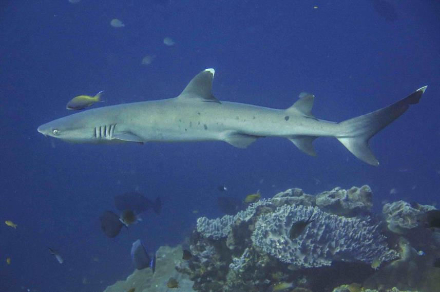 Whitetip Reef Shark - Indonesia