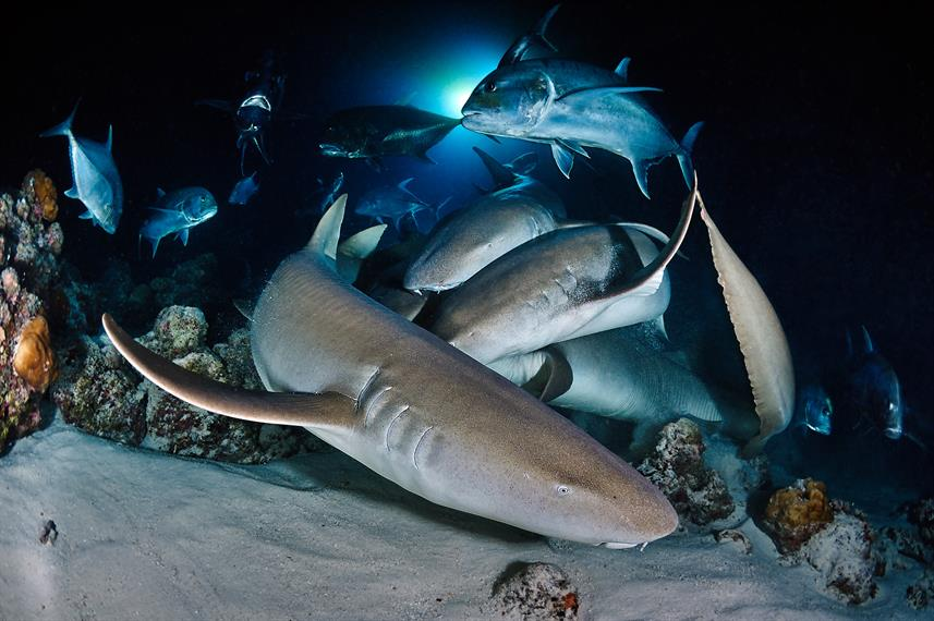 Nurse sharks' feeding at night dive