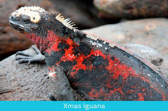 Xmas Iguana - Galapagos expeditions