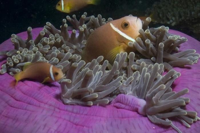 Clownfish - Scuba Diving in the Maldives