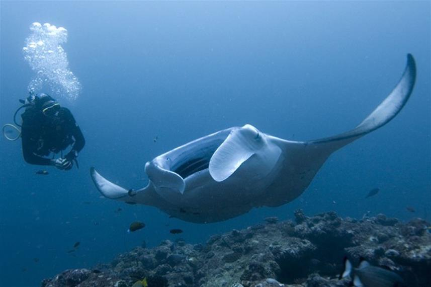 Dive with Giant Manta Rays in the Maldives