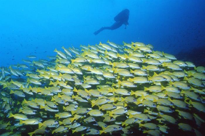 Large svhool of Snapper - Maldives diving