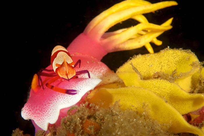 Nudibranch & Shrimp - Andaman Sea