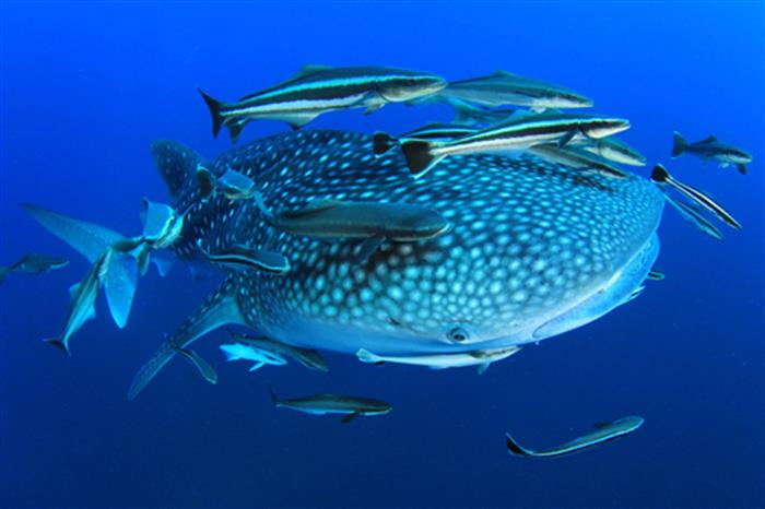 Diving with Whale Sharks in Richelieu Rock