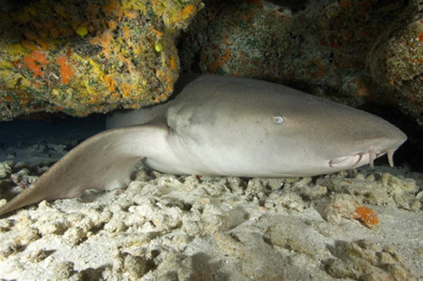 Nurse Sharks at Koh Bon