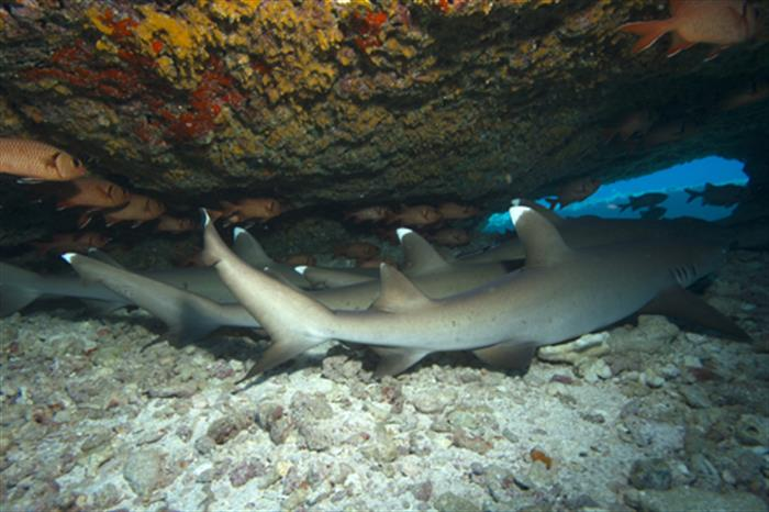 Sleeping White Tip Sharks in the Similan Islands