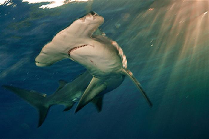 Scalloped Hammerhead Shark in the Bahamas