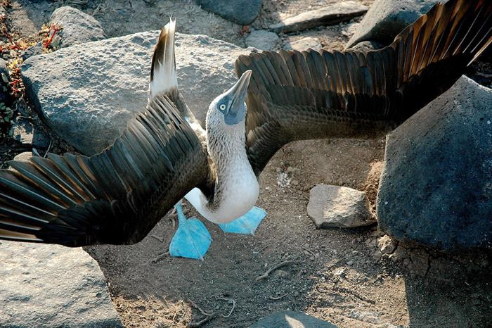 Blue Footed Boobie - Galapagos Islands