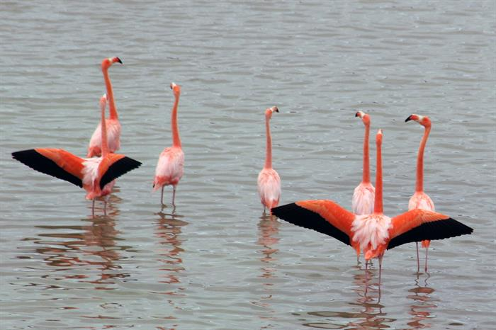 Flamingos in the Galapagos Islands
