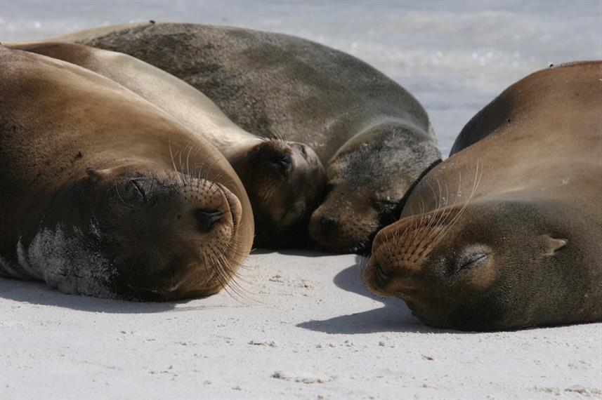 Sleepy Sea Lions in the Galapagos