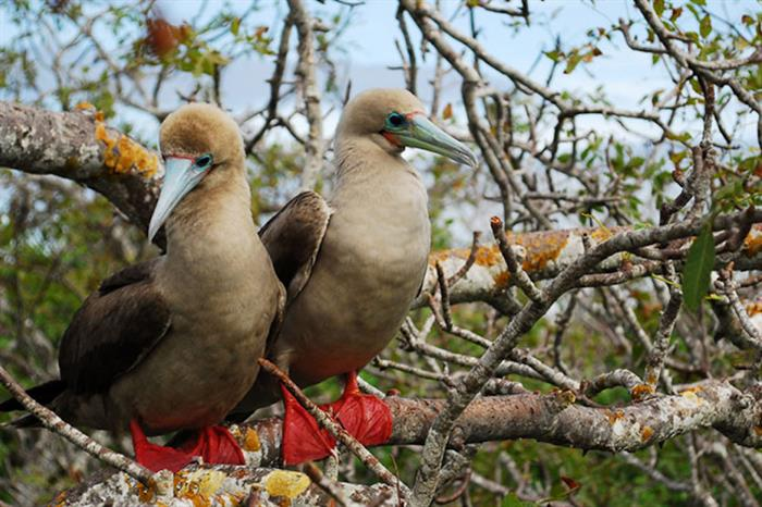 Red Footed Booby - Galapagos