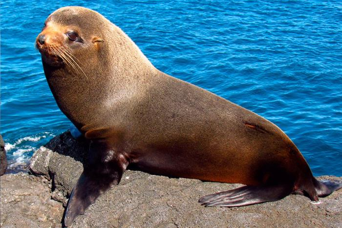 Sea Lion at Santiago Island Galapagos