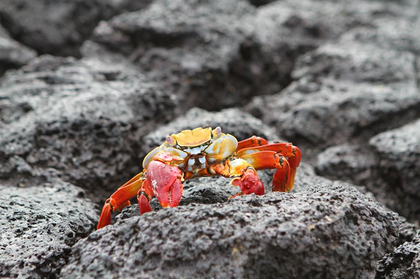 Sally Lightfoot Crab - Bachas Beach Galapagos