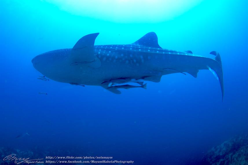 Whale Shark - Dolphin Queen