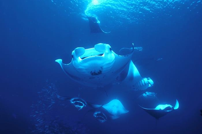 Diving with Manta Rays - Azalea Maldives